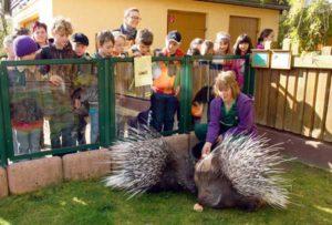 Tierpflegerin Birgit Hermenau lockte die eher scheuen Tiere mit Futter. (Foto: Ronny Seifarth)