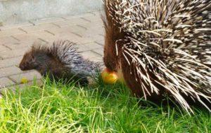 Das Muttertier weicht dem Kleinen nicht von der Seite. (Foto: Ronny Seifarth)